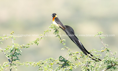 long-tailed paradise whydah or eastern paradise whydah in tree.