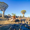 Namibia Quiver tree forest
