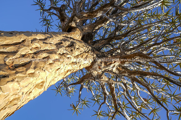 Golden glow as sun sets on crinkly bark of of large aloe in Namibia Quiver Tree Forest landscape at Keetmanshoop