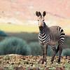 Burchell's Zebra thrive in the desert.