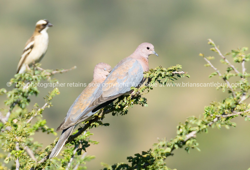 Laughing dove pair on branch