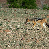 ...as has the Black Backed Jackal.