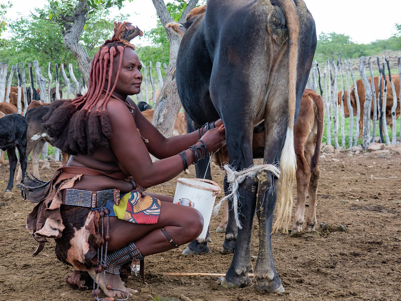 The Himba raise livestock and take turns in milking cows.