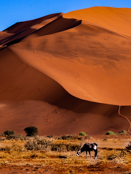 A gemsbok, also known as an oryx, grazes at the foot of a sand dune.