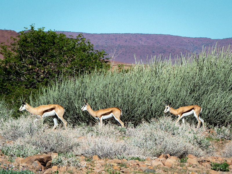 The desert supports a surprising amount of wildlife, including the Springbok.