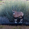 A Gemsbok finds shade on a hot morning.