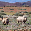 Namibia is home to Africa's largest number of the endangered black rhino.
