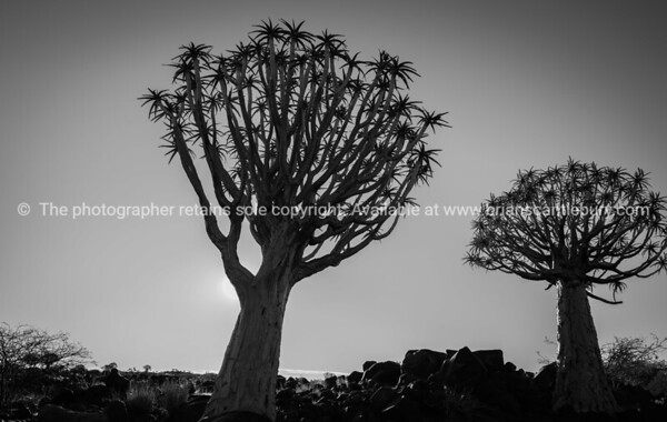 Namibia monochrome  Quiver Tree Forest