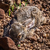 The spring hare has adapted to life in the desert.