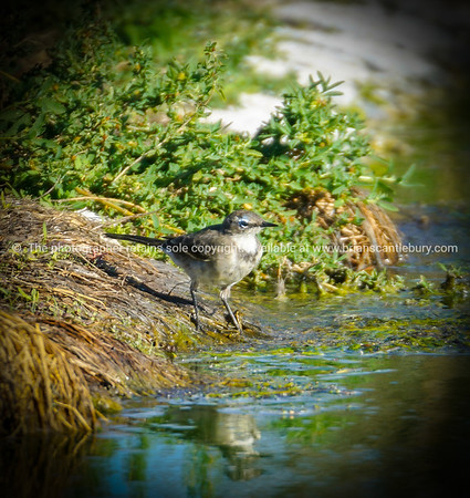 Cape wagtail at waterhole