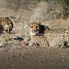 Wild cheetah in Namibia.