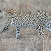 Simbambili Game Lodge South Africa near Kruger Park - leopard on the hunt