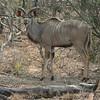Simbambili Game Lodge South Africa near Kruger Park - kudu male