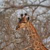Simbambili Game Lodge South Africa near Kruger Park - giraffe