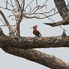Simbambili Game Lodge South Africa near Kruger Park - African Hoopoe