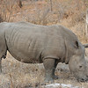 Simbambili Game Lodge South Africa near Kruger Park - white rhino