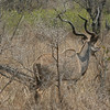 Simbambili Game Lodge South Africa near Kruger Park - kudu male with impressive horns