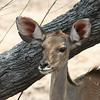 Simbambili Game Lodge South Africa near Kruger Park - kudu female