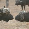 Simbambili Game Lodge South Africa near Kruger Park - Cape buffalo