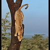 Cheetah Descending, Ol Pejeta Conservancy, Kenya 2011