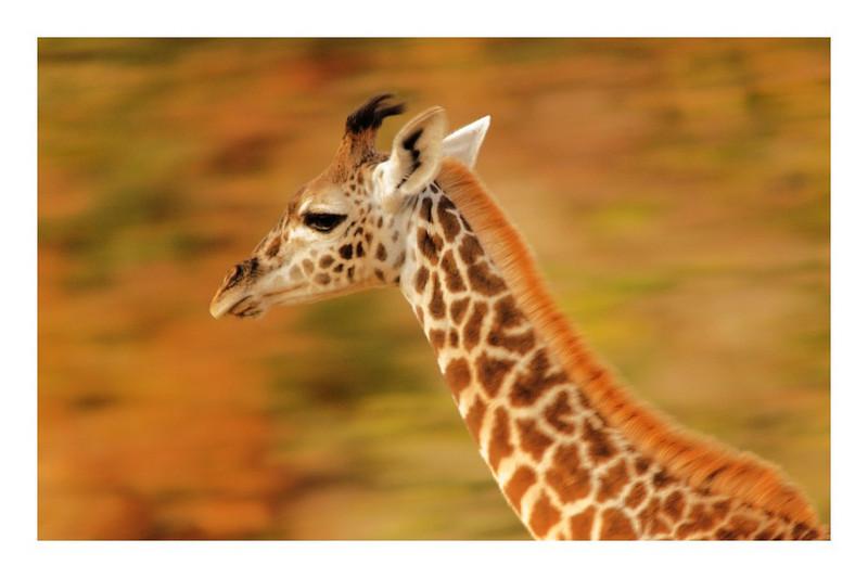 Running Giraffe Calf, Tsavo East, Kenya, 2008