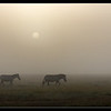 Zebras in the Mist, Ol Pejeta Conservancy, Kenya 2011