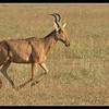Hartebeest Running, Ol Pejeta Conservancy, Kenya 2011