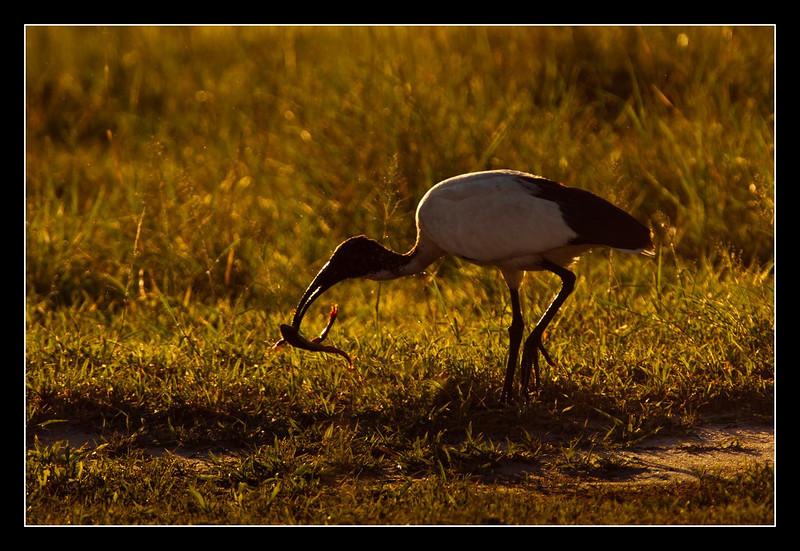 Ibis with Frog, Moremi, Botswana, 2011