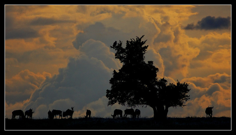 Wildebeest and Eagle at Dusk, Mara North Conservancy, Kenya, 2009