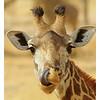 Giraffe Tongue, Tarangire, Tanzania, 2008