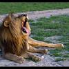 Lion Yawn, Mapula Concession, Botswana, 2011