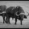 Buffalo Girls, Ol Pejeta Conservancy, Kenya 2011