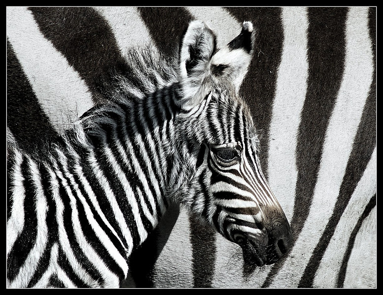 Zebra Foal, Maasai Mara Reserve, Kenya, 2009