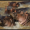 Hippos on the Move, Mara North Conservancy, Kenya, 2009