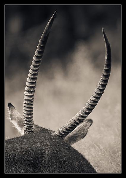 Waterbucks, Moremi, Botswana, 2011