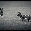 Wild Dogs, Ol Pejeta Conservancy, Kenya 2011