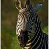 Zebra Feeding, Moremi, Botswana, 2010