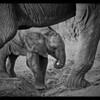 Elephant Calf, Tarangire, Tanzania, 2008