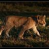 Lion Cub, Olare Orok Conservancy, Kenya 2011