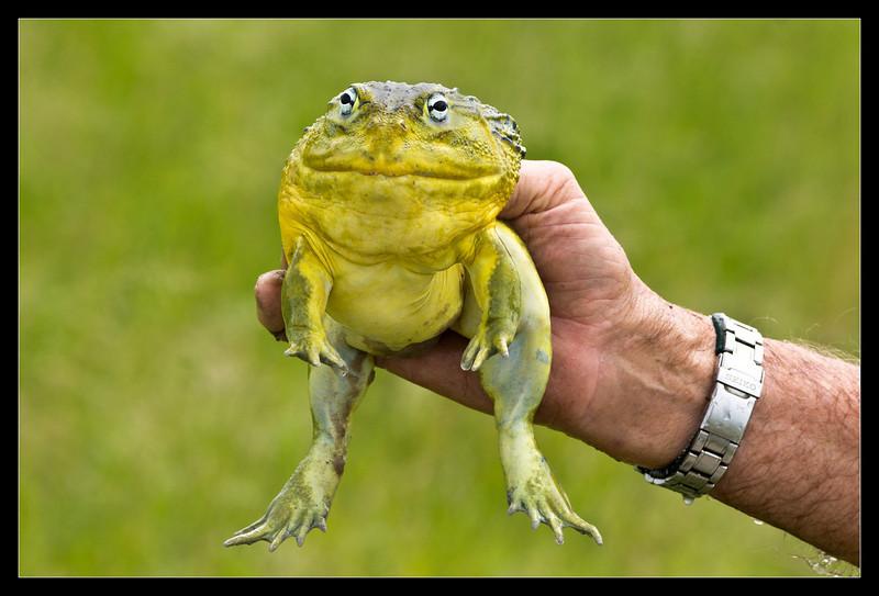 Bullfrog, Moremi, Botswana, 2011