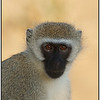 Vervet Monkey, Tsavo East, Kenya, 2008