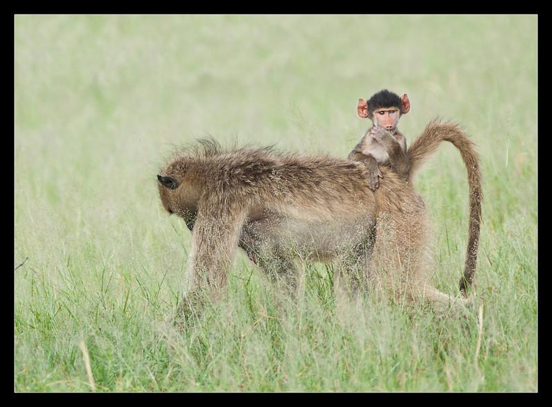 Baboons, Moremi, Botswana, 2011