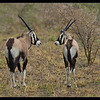 Oryx Mirror, CKGR, Botswana, 2010