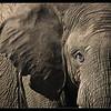 Elephant Detail, Ol Pejeta Conservancy, Kenya 2011