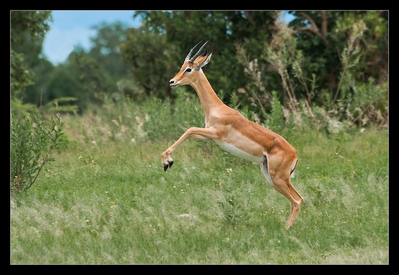 Prancing Impala, Moremi, Botswana, 2011