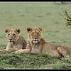 Young Bila Shaka Males, Maasai Mara Reserve, Kenya, 2009