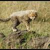 Cheetah Cub Exploring, Maasai Mara, Kenya, 2008