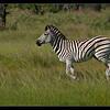 Zebra, Mapula Concession, Botswana, 2011
