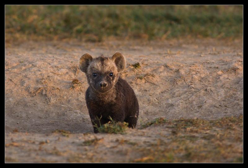 Curiosity, Ol Pejeta Conservancy, Kenya 2011