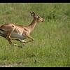 Startled Impala, Moremi, Botswana, 2010